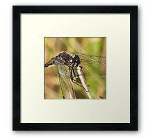 Black Darter Dragonfly Framed Print