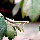 Praying Mantis on a Hydrangea Bush by BamaBruce69