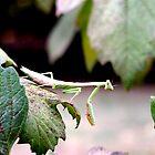 Praying Mantis on a Hydrangea Bush by BamaBruce69