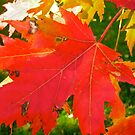 Red Maple Leaves by Shulie1