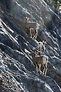 Young Bighorn Sheep  by Yukondick
