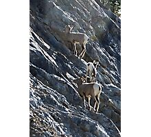 Young Bighorn Sheep  Photographic Print