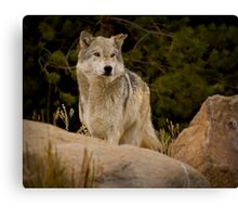 The Look Of A Hunter Canvas Print
