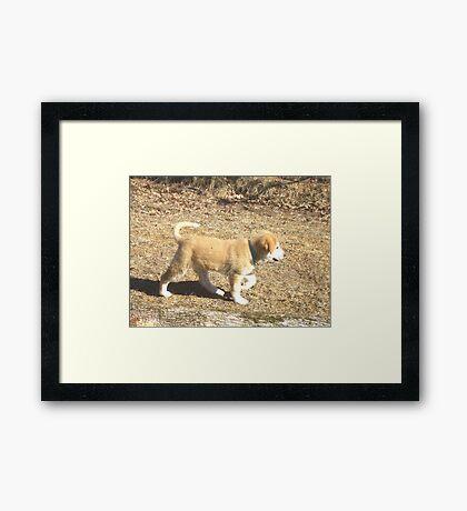 Baby Sheep Dog Calib Framed Print