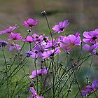 Autumn Colours - Purple Windflowers by naturelover