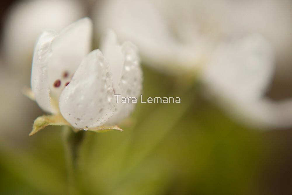 Pear Blossom by Tara Lemana