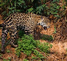 Jaguar by Dev Wijewardane