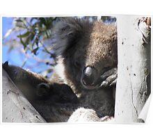 Baby Koala & Mother - Cleland Conservation Park, South Australia Poster