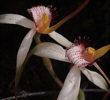 wild stark white orchid by peterbeaton