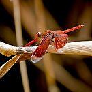 Dragonfly by Ron Dewi
