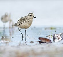 Foraging on the Mudflats by Bill McMullen