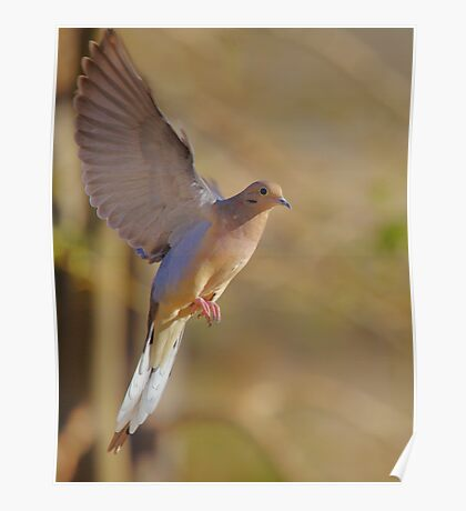 Mourning Dove in Flight 2 Poster