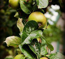 Apples Anyone? by JordynShayPhoto