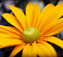 Yellow Daisy  by JordynShayPhoto