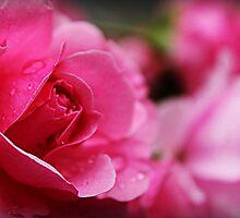 Pink Rose by JordynShayPhoto