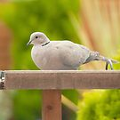 Collared Dove by Imager