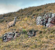 Young Stag on Isle of Raasay by JPassmore