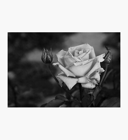 Battered Rose Photographic Print