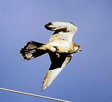 On The Hunt Australian Kestrel by Kym Bradley