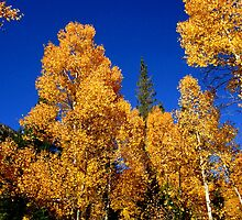 Gold On The Trees by marilyn diaz
