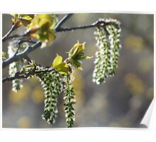 Sunlit Catkins Poster