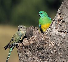 Red-rumped Parrot ... Mrs and Mr by mosaicavenues