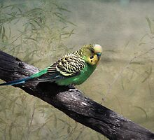 Budgerigar by mosaicavenues