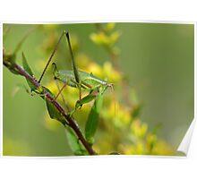 A Katydid Poster