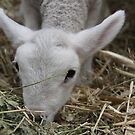 Lamb by Emma Holmes