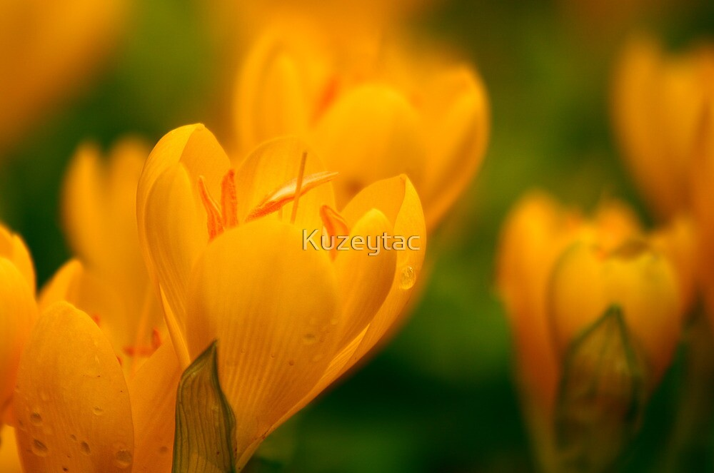 Yellow Crocuses With Rain Drops by Kuzeytac