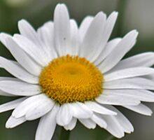 Single white daisy Sticker
