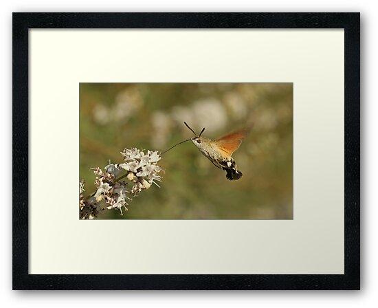Hummingbird Hawkmoth by Robert Abraham