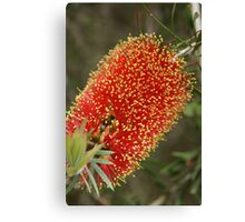 Calistemon- Red Bottle Brush flower Canvas Print