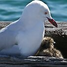 Silver Gull and Baby by Rick Playle