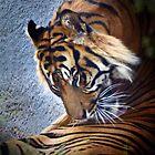 Tiger Grooming by Linda Sparks