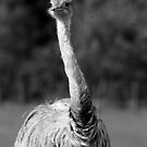 Ostrich by Colin Shepherd