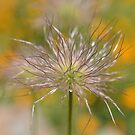 pasque flower seed head by Glenda Williams