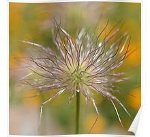 pasque flower seed head Poster