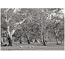 Grazing amongst the Gum Trees Photographic Print
