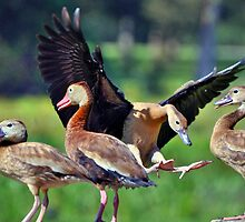 Black-bellied Whistling-Ducks by Savannah Gibbs