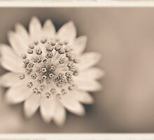 Astrantia by pseth