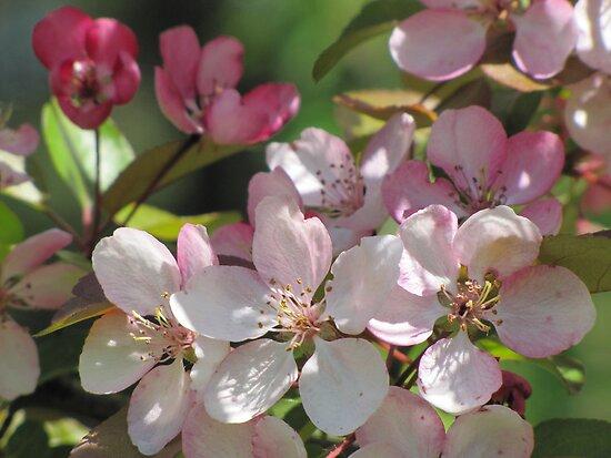 Apple Blossom by Kathi Arnell