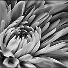 Dahlia in black and white by Eunice Gibb