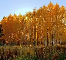 Sundown Through The Aspens by Diana Graves Photography