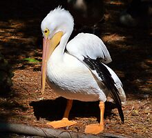 American White Pelican by BeachBumPics