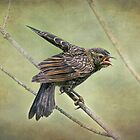 Red-winged Blackbird Fledgling by KatMagic Photography