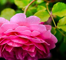 Ring around the Rose by Michael Taggart