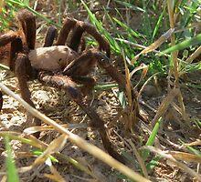 Desert Tarantula~ Morning Stroll  by Kimberly Chadwick