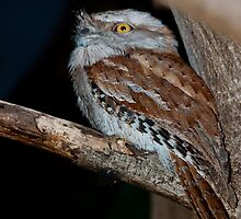 Female Tawny Frogmouth by pacom