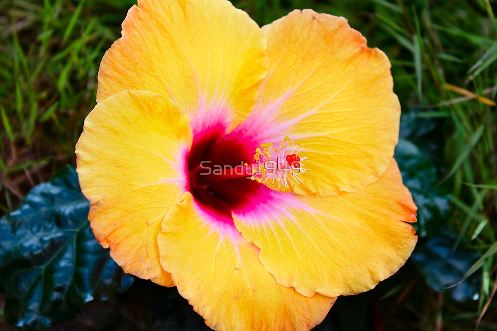 Orange Hibiscus (Rio Clara) by Sandy1949
